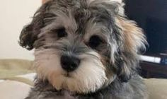 Ranked as one of the most popular dog breeds in the world, the Miniature Schnauzer is a cute little square faced furry coat. Schnoodle Puppy, Havanese Puppies, Schnauzer Puppy, Schnauzers, Cavapoo, Miniature Schnauzer, Fox Terriers, Cute Dogs And Puppies, I Love Dogs