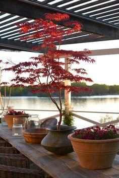 Red colors in pots Balcony Garden, Garden Plants, Container Plants, Container Gardening, Japanese Maple Garden, Bonsai Tree Types, Japan Garden, Plants Are Friends, Potted Trees