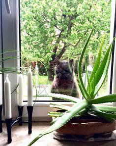• C a t #window #cat #blackcat #aloevera #candle #homeideas #home #interiordesign #ilovecat #ilovepets #natural #design #homedesign… Natural Design, Aloe Vera, House Design, Windows, Candles, Interior Design, Instagram, Cats, Nature