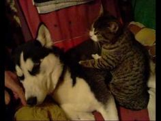 Cat massages dog.