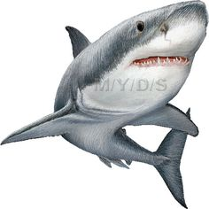 Great White Sharks clipart picture / Large