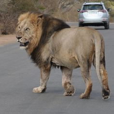Beautiful lion crossing road in Kruger park http://homesofafrica.com