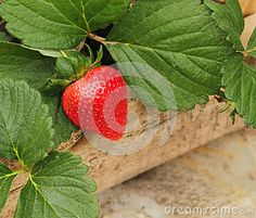 Fresh organic strawberry at its plant in wooden pot