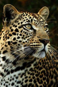 leopard by rudi hulshof Beautiful Cats, Animals Beautiful, Wild Animal Wallpaper, Animals And Pets, Cute Animals, Jaguar Animal, Big Cats Art, Majestic Animals, Tier Fotos