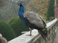 Powis Castle and Garden: Peacock