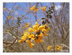 Flores da Caatinga. Macaúbas, Bahia.