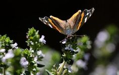 Butterflies, migrating north, make a pit stop in N.J.