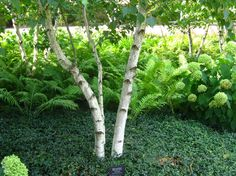 Gray birch looks very similar to white (paper) birch (Betula papyrifera) with its chalky, white bark, but is much more tolerant of heat and dry soils