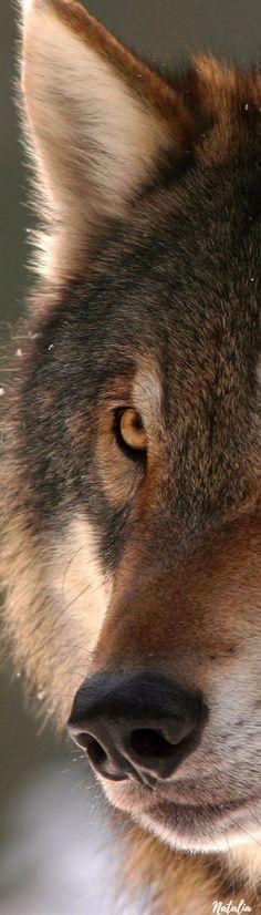 Red Panda, Animals Of The World, Wolves, Animal Kingdom, Pet Birds, Animals Beautiful, Squirrel, Wildlife, Fox
