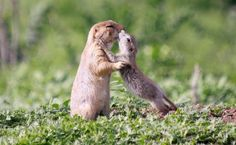 Two of the affectionate prairie dogs appear to share a kiss  Colorado, America - 13 May 2011 - Sean Pettersen/Solent News/Rex F