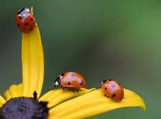 ladybug love these little creatures are so good for the garden, they eat aphids and other pests off your plants