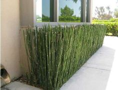 EQUISETUM hyemale 'Horsetail' Might be a good alternative to bamboo Buy Plants, Garden Plants, Front Yard Landscaping, Backyard Patio, Horsetail Reed, Landscape Design, Garden Design, Diy Pergola, Garden Furniture