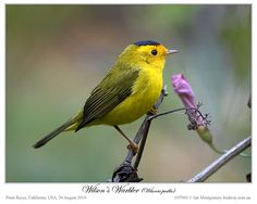 wilson's warbler - I see these a lot in our backyard bushes and trees
