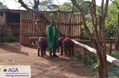 Die kleinsten Elefanten, die erst wenige Wochen alt sind, kommen zuerst zurück ins Elefantenwaisenhaus. Aga, Trunks, Plants, Kenya, Wilderness, January, Elephants, Drift Wood, Tree Trunks