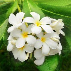 Jasmin commun, Jasmin blanc