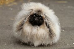 Pekingese in China