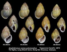 Dr. Lee's Gallery Museum: Amphidromus comes polymorphus 38.65 to 45.36mm (x4...