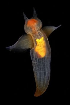 Not an angel, but a common clione (and a lovely photo of one too)