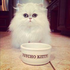 Teacup Persian Kitten Bella with humorous food dish