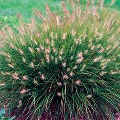 "Little bunny ornamental grass or ""fountain grass"" petite, great for the fron border and deer proof. zones 5 - 9."