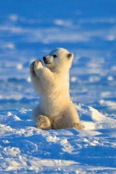 Baby polar bear cub playing in the snow Baby Animals Super Cute, Cute Little Animals, Cute Funny Animals, Baby Animals Pictures, Cute Animal Photos, Animals And Pets, Animals Planet, Wild Animals, Baby Polar Bears