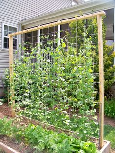 25 Eye-Catching DIY Trellis Ideas For Your Garden A garden trellis is an excellent way to support plants and flowers while adding structure and decorative flair to your landscape.Sugar Snap Peas Trellis Our snap pea trellis (Diy Garden Sim Pea Trellis, Garden Trellis, Garden Beds, Box Garden, Privacy Trellis, Bamboo Trellis, Garden Fencing, Wire Trellis, Flower Trellis