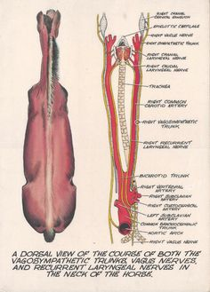 A dorsal view of the course of both the vagosympathetic trunks, vagus nerves, and recurrent layrngeal nerves in the neck of the horse.