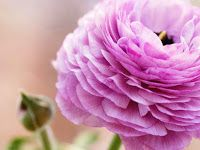 Ranunculus Pink Flower photos wallpapers