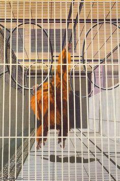 """Orang-Outan de la Havane, Gilles Aillaud (1928-2005, France) Le français après avoir étudié la philosophie se joind à la mouvance de la Nouvelle Figuration et la Figuration narrative dans les années 60. C'est une période prolifique pour lui autour de l'animal en cage.  Sa peinture et méditative et silencieuse, pour lui """"Les choses sont plus fortes que les idées""""."""