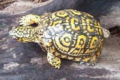 What you should know about Eastern Box Turtles: Terrapene carolina carolina . but throughout Florida Pine Forrest High Hammocks. Tortoise Food, Tortoise Turtle, Tortoise Care, Pet Turtle, Turtle Love, Different Types Of Turtles, Pictures Of Turtles, Spotted Turtle, Eastern Box Turtle