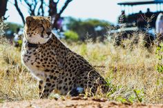 A Cheetah from the Cheetah Conservation Fund (CCF) based in Otjiwarongo. Take a game drive to see these wondrous animals for yourself. Timbuktu Travel.