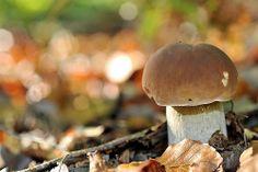 Boletus edulis - Cèpe de Bordeaux - En Forêt de Conches-en-Ouche #champignon #mushroom #france #Normandie #Conches #Evreux #tourisme #Paris Conch, Bordeaux, Ikea, Stuffed Mushrooms, France, Vegetables, Boletus Edulis, Normandie, Drill Bit