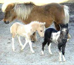 miniature horses | Mini Horses – US/UK guide to mini horses