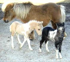 miniature horses | Mini Horses – US/UK guide to mini horses