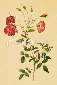 Tea rose   Antique Flower Illustrations Royalty Free Stock Vector Art Illustration