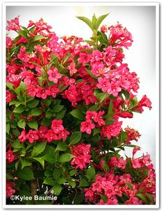 This is the plant I was trying to think of that we had in our back yard...Pink Weigela florida