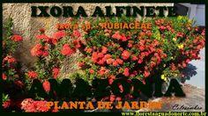 Amazônia - Flor de Jardim - Ixora - Alfinete - Celcoimbra - FAN