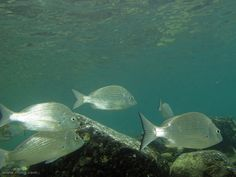 Yellowfin Bream | by richard ling