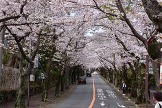 伊豆高原桜並木通り 2016.4