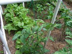 gardening jones garden staking tomatoes