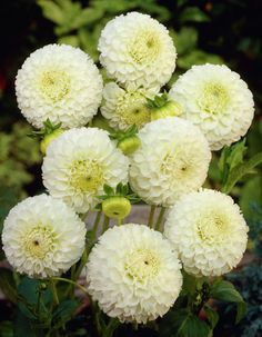 Dahlia 'Snowflake' #dahlias #flowers Feed your plants with GrowBest from http://www.shop.embiotechsolutions.co.uk/GrowBest-EM-Seaweed-Fertilizer-Rock-Dust-Worm-Casts-3kg-GrowBest3Kg.htm