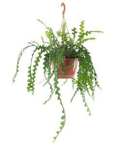 Green Lifestyle Store Kamerplant Epiphyllum Anguliger - 51 euro