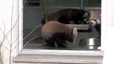 Red panda gets spooked and sounds kinda funny.