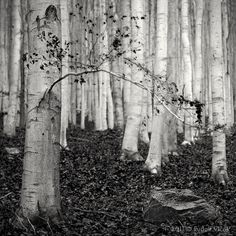 birch birch birch