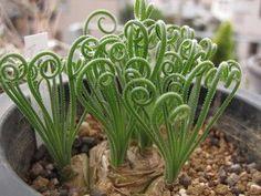 Albuca spiralis Albuca Frizzle Sizzle - syn: Albuca namaquensis Samen