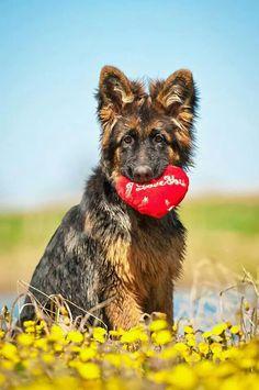 Sweet #GSD #puppy