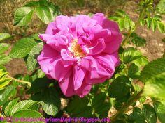El jardín de la alegría : Un híbrido de rosal silvestre - Rosa rugosa 'Hansa...