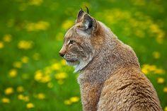 @pinthestars Northern Lynx