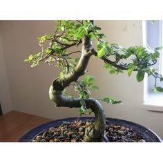 Bonsai tree for John