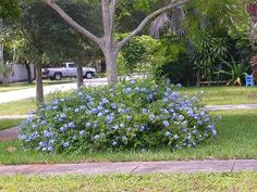Plumbago auriculata Imperial Blue - All For Garden Plants, Outdoor Landscaping, Love Garden, Low Water Gardening, Growing Food, Blue Plants, Pagoda Garden, Tropical Landscaping, Florida Plants